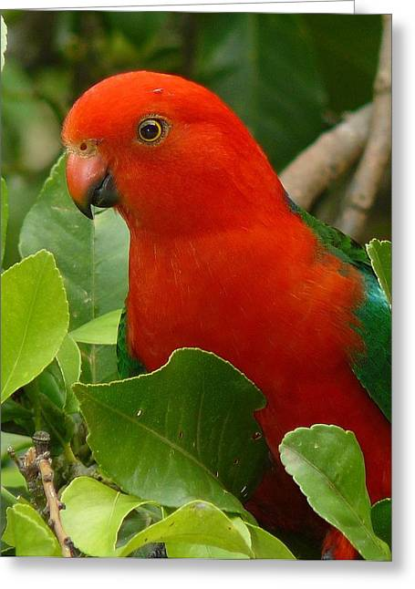 Greeting Card featuring the photograph King Parrot Portrait by Margaret Stockdale