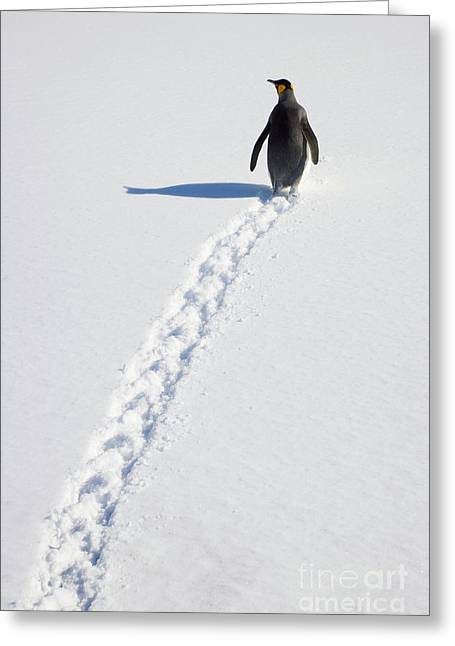 King Penguin And Tracks S Georgia Island Greeting Card