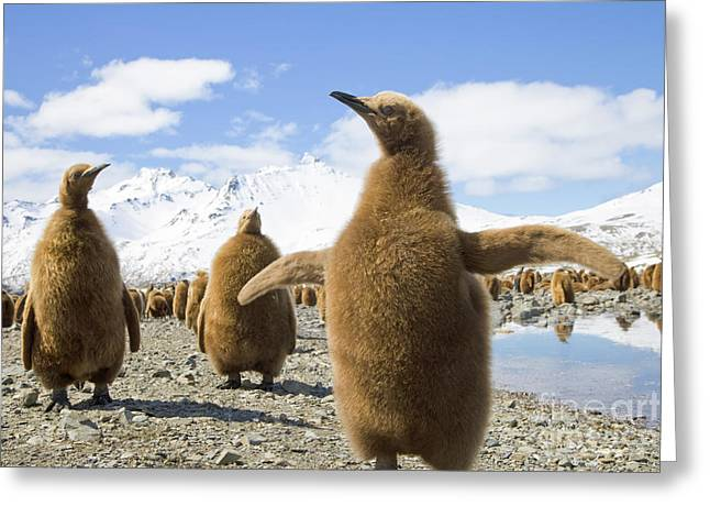 King Penguin Chicks South Georgia Island Greeting Card