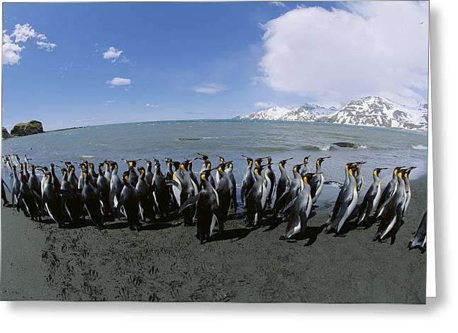 King Penguin Colony South Georgia Island Greeting Card by Konrad Wothe