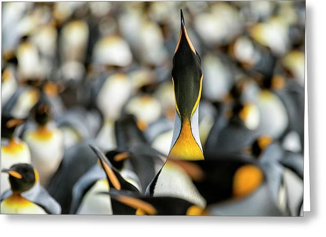 King Penguin Displaying Greeting Card
