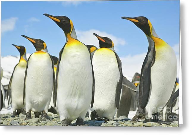 King Penguins Looking Greeting Card by Yva Momatiuk John Eastcott