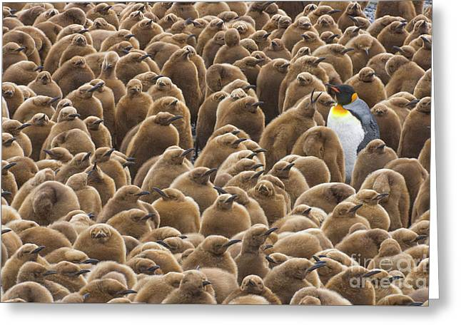 King Penguin In Creche  Greeting Card
