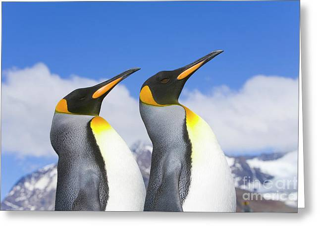 King Penguin Duo Greeting Card by Yva Momatiuk John Eastcott