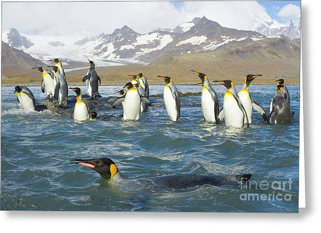 King Penguins Swimming St Andrews Bay Greeting Card by Yva Momatiuk John Eastcott