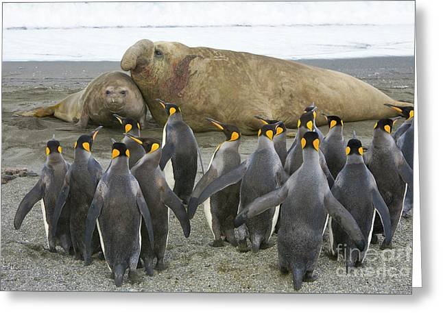 King Penguins And Southern Elephant Greeting Card by Yva Momatiuk John Eastcott