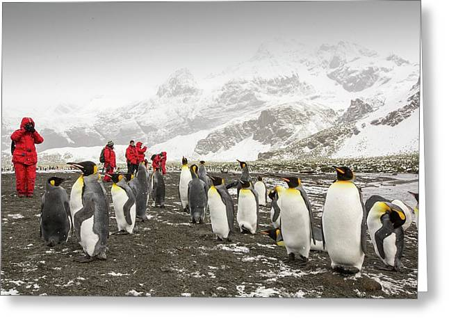 King Penguins At Gold Harbour Greeting Card