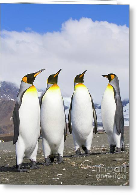 King Penguins St Andrews Bay Greeting Card by Yva Momatiuk John Eastcott