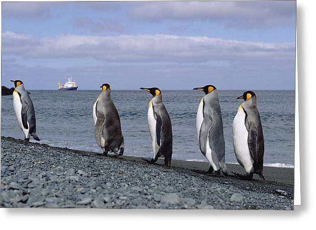 King Penguins On Rocky Shoreline Greeting Card by Konrad Wothe