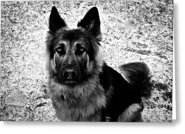 King Shepherd Dog - Monochrome  Greeting Card