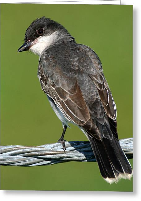 Kingbird On A Wire Greeting Card