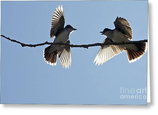 Kingbird Spat 2 Greeting Card