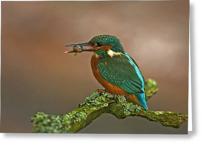 Kingfisher With Stickleback Greeting Card by Paul Scoullar