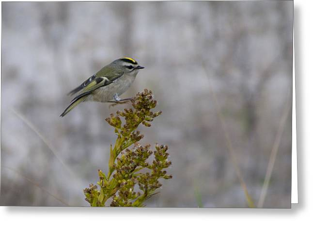 Greeting Card featuring the photograph Kinglet by Greg Graham