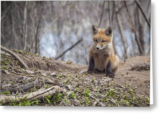 Kit Fox 2011-1 Greeting Card
