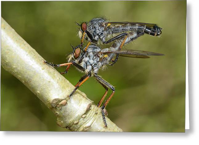 Kite-tailed Robberflies Mating Greeting Card by Nigel Downer