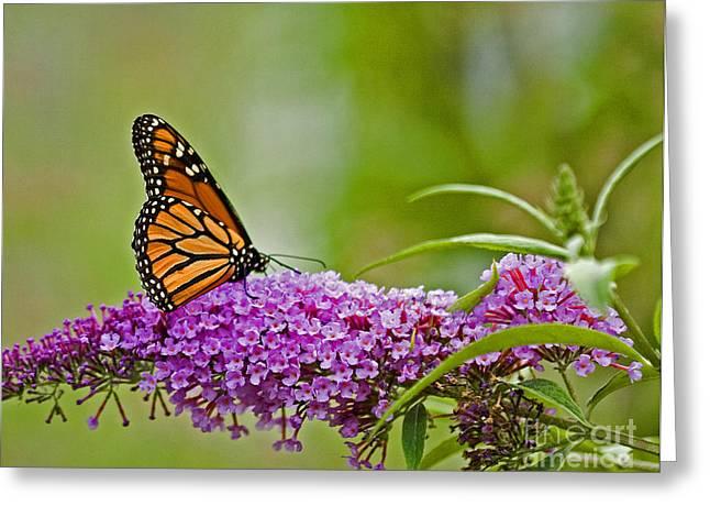 Kittatiny Monarch Greeting Card