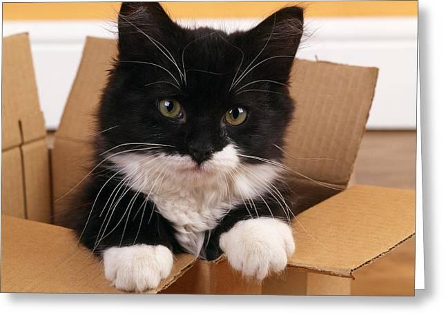 Kitten In A Box Greeting Card by John Daniels
