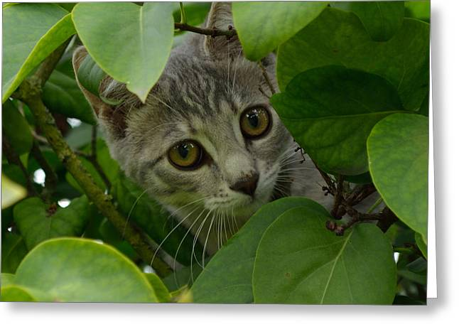 Kitten In The Bushes Greeting Card by Scott Lyons