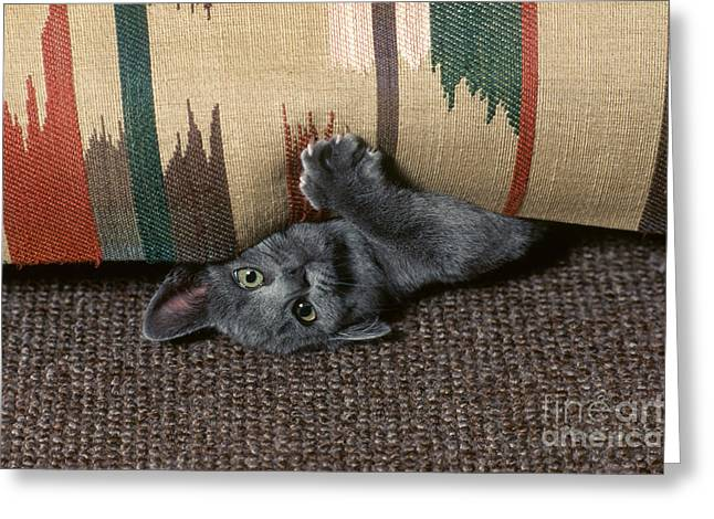 Kitten Under Couch Greeting Card by James L. Amos