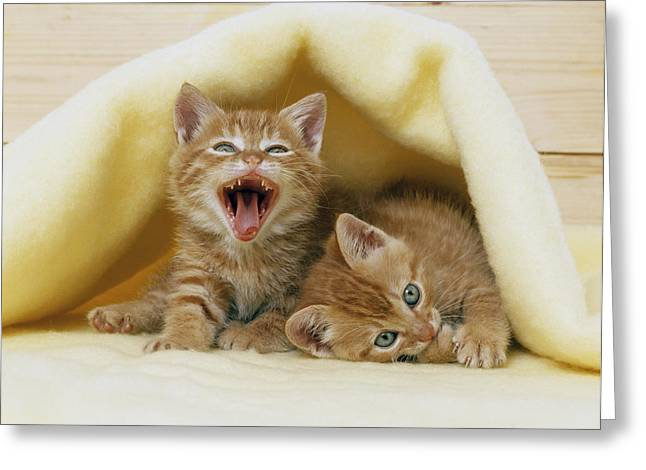 Kittens Under A Blanket Greeting Card by Mitsuyoshi  Tatematsu