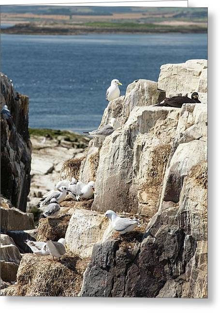 Kittiwake Greeting Card by Ashley Cooper