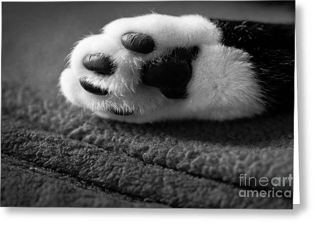 Kitty Paw Close Up Greeting Card by Sharon Dominick
