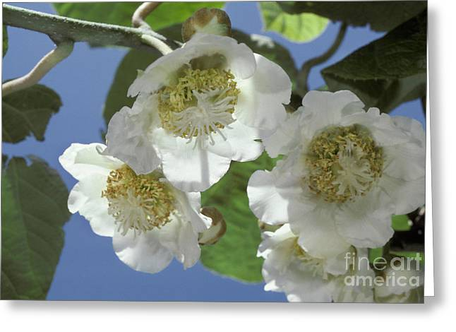 Kiwifruit Blossoms Greeting Card by Ron Sanford