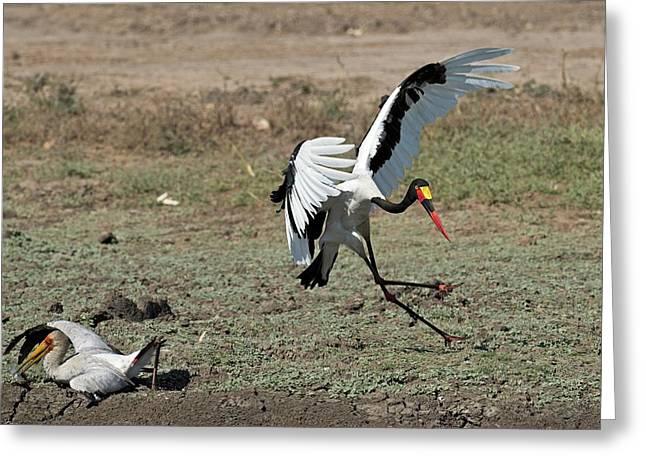Kleptoparasitism Amongst Storks Greeting Card by Tony Camacho