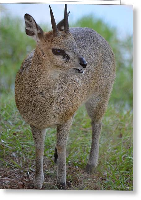 Klipspringer Greeting Card by Richard Bryce and Family