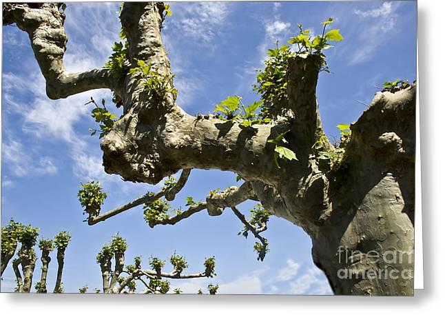 Knobby Tree Greeting Card by Dan Radi