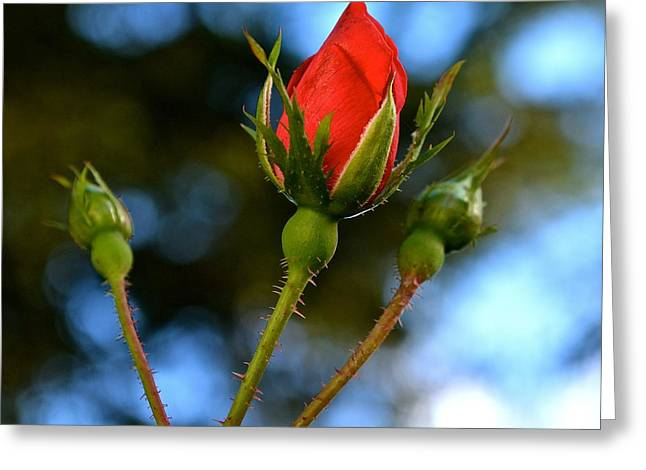 Knockout Rosebud Greeting Card