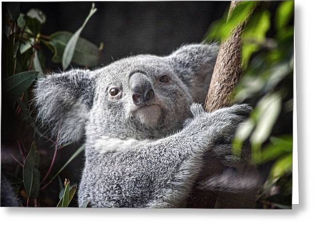 Koala Photographs Greeting Cards - Koala Bear Greeting Card by Tom Mc Nemar