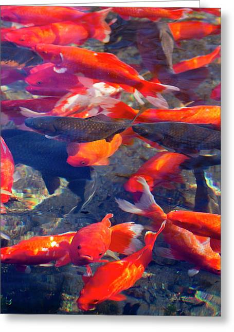 Koi And Carp In Big Spring Park Greeting Card