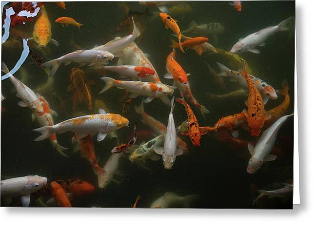 Koi Carp In Pond At Aureum Palace Greeting Card
