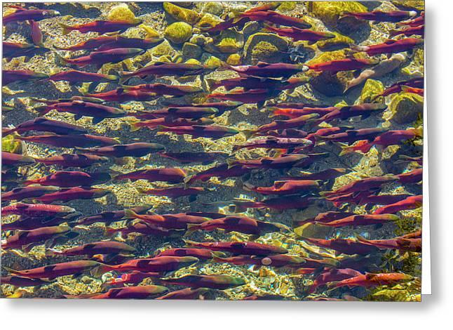 Kokanee Salmon Head Upstream Greeting Card by Chuck Haney