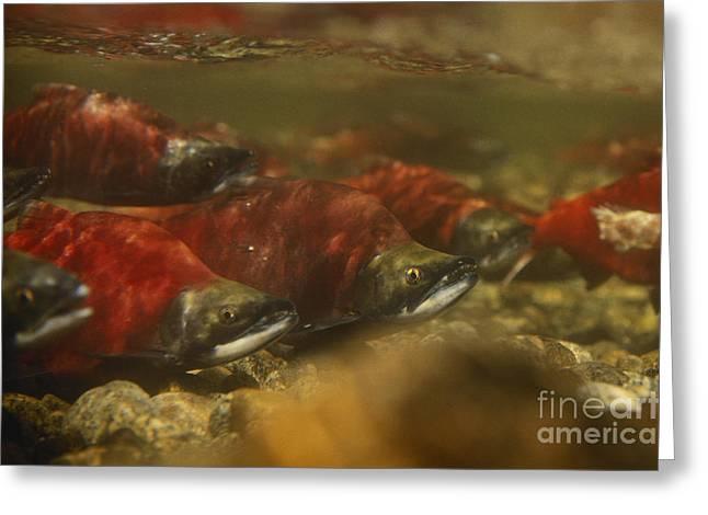 Kokanee Salmon Greeting Card by William H. Mullins
