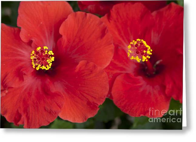 Kokio Ulaula - Tropical Red Hibiscus Greeting Card by Sharon Mau