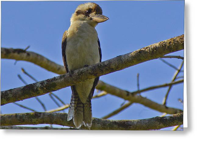 Kookaburra Greeting Card by Debbie Cundy