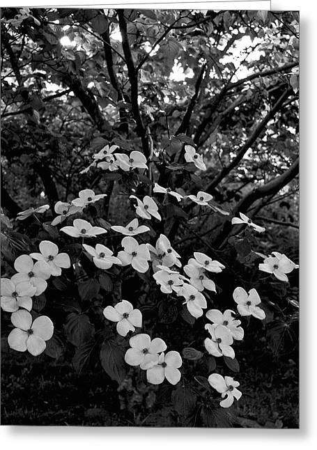 Kousa Dogwood IIi Greeting Card