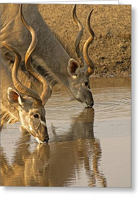 Greeting Card featuring the photograph Kudus by Dennis Cox WorldViews