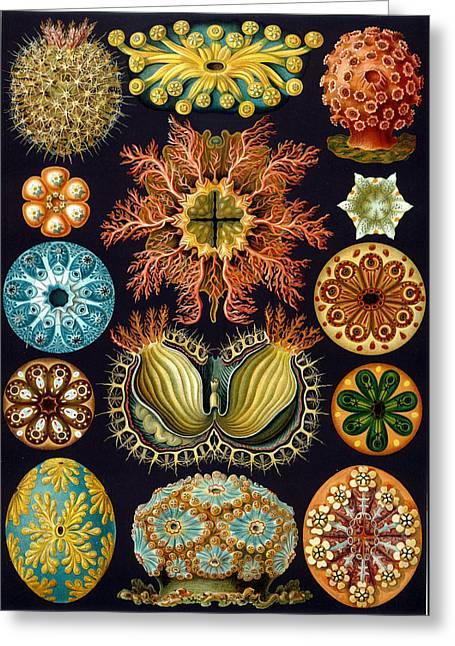 Kunstformen Der Natur. Ascidiae Greeting Card by Adolf Giltsch