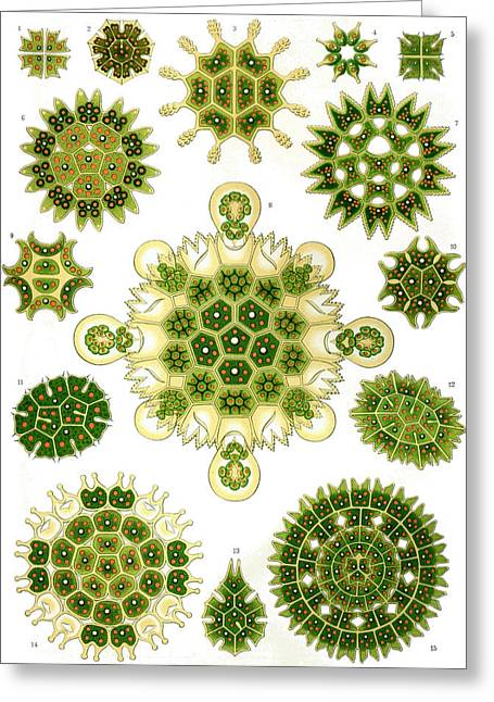 Kunstformen Der Natur. Melethallia Greeting Card by Adolf Giltsch