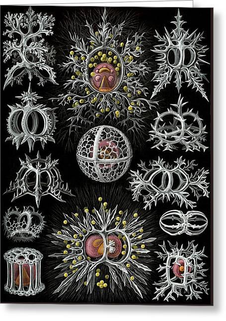 Kunstformen Der Natur. Stephoidea  Greeting Card by Adolf Giltsch