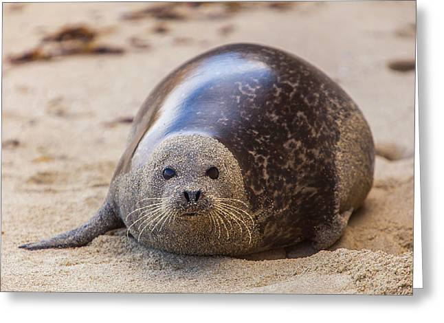 La Jolla Cove, San Diego, Harbor Seal Greeting Card by Michael Qualls