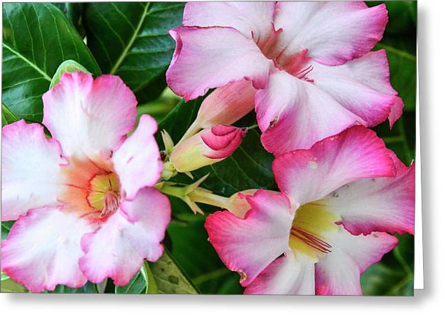 La Paz, Baja, Mexico, Tropical Flowers Greeting Card by Mark Williford