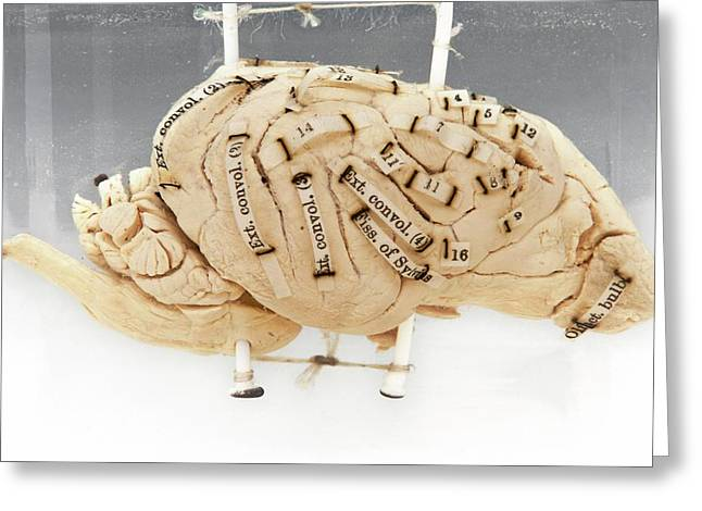 Labelled Dog's Brain Greeting Card