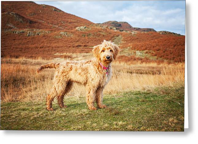 Labradoodle Puppy Greeting Card by Mike Taylor