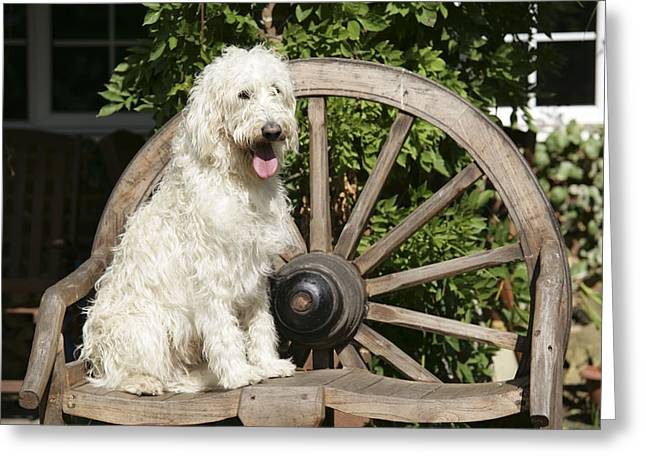 Labradoodle Sitting On Chair Greeting Card