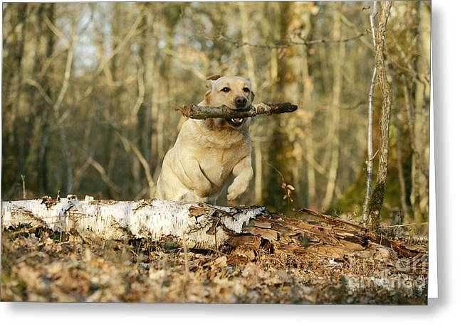 Labrador Jumping With Stick Greeting Card